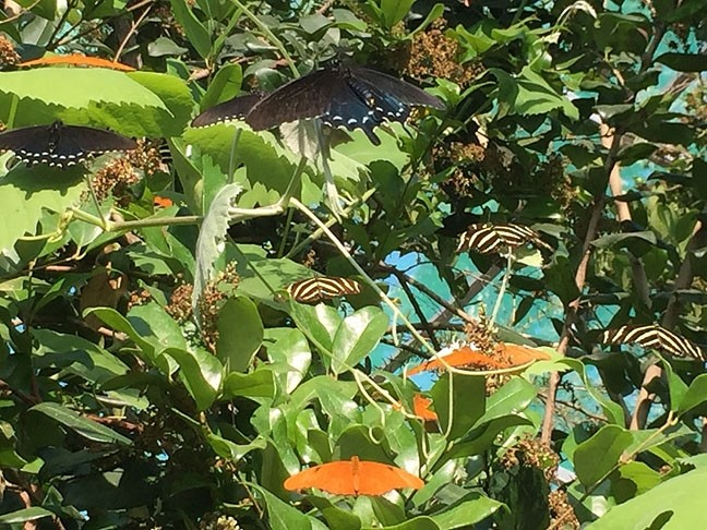 ALTOGETHER NOW:  A cluster of butterflies roosts in trees at the Santa Barbara Museum of Natural History. - PHOTO BY TREVER DIAS