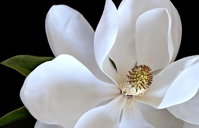 BLOOMING:  Close up shots of flowers, like this Magnolia, are a hallmark of photographer Georganna Dean's work. - PHOTO COURTESY OF GEORGANNA DEAN
