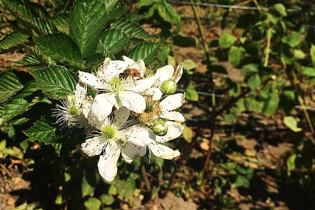 POLLINATOR:  Bees buzz along the rows of berry trellises between Linn's farm store and Santa Rosa Creek Road. - PHOTO BY CAMILLIA LANHAM