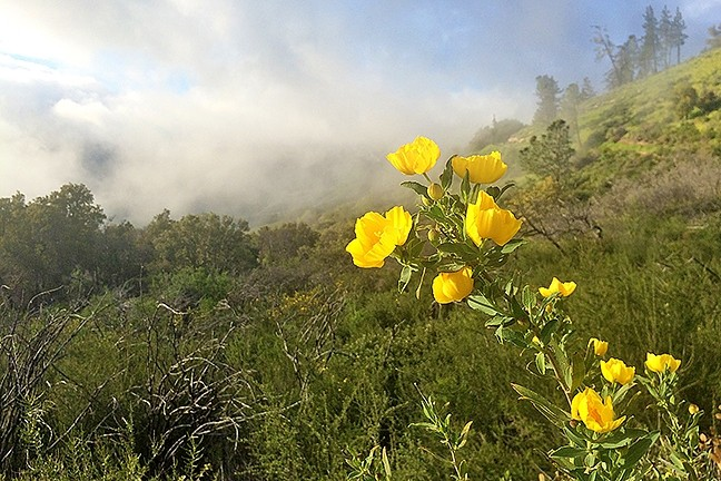 CLOUD COVER:  Swift and nimble fog moves from hilltop to hilltop, allowing sunlight to make an occasional appearance along Zaca Ridge Road on a recent Saturday afternoon. - PHOTO BY CAMILLIA LANHAM