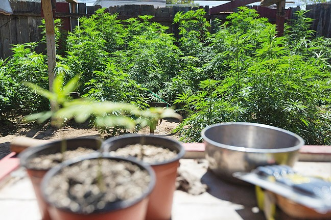 COMING INTO FORM? The state released a set of regulations for the emerging marijuana industry on Nov. 16, but counties like San Luis Obispo are considering tighter restrictions, like a ban on outdoor cannabis grows for personal or caregiver use. - FILE PHOTO