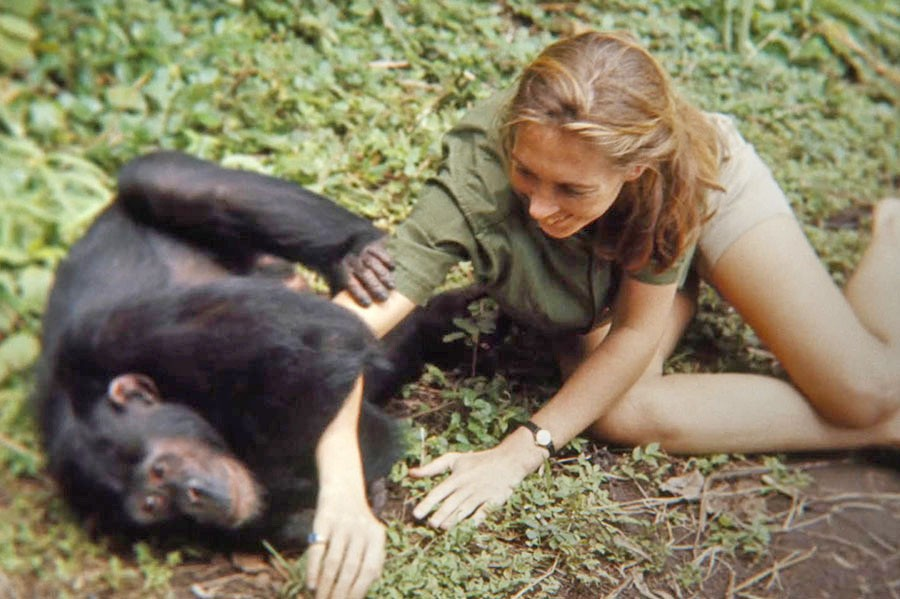 PRIMATES Explore the life and work of world famous chimpanzee researcher Jane Goodall in the documentary Jane. - PHOTO COURTESY OF NATIONAL GEOGRAPHIC STUDIOS