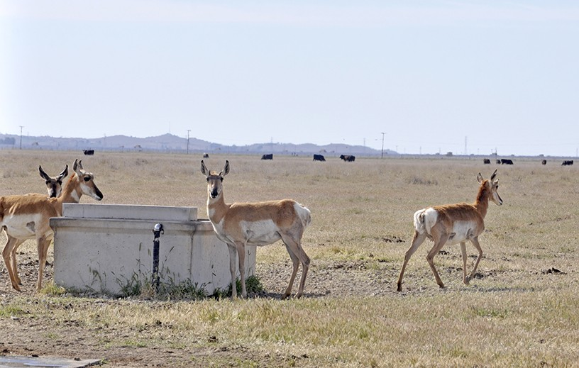 WILD KINGDOM Pronghorn antelope drink from a cattle trough in the California Valley. - PHOTO BY CAMILLIA LANHAM