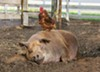 <b>SUSTAINABLE </b>In the documentary, <i>The Biggest Little Farm</i>, we witness a couple attempt to farm a 200-acre plot of depleted land&mdash;planting orchards and crops and raising animals, like Emma the pig and her best friend, Greasy the rooster&mdash;screening exclusively at The Palm.