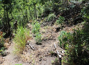Sheriff warns public against confronting illegal marijuana growers