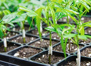 SLO County will revisit cannabis regs