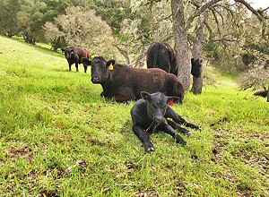 Templeton Hills Beef takes pride in its cattle while caring for Central Coast pastures