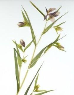 California plant specimin - Uploaded by SLO Botanical Garden