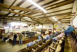GOING ONCE:  The Templeton Livestock Market held its last auction on Oct. 4, before shutting its doors to make way for 107 single-family homes. - FILE PHOTO BY HENRY BRUINGTON