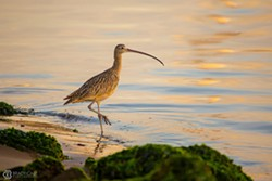 8108d340_2018-01_long_billed_curlew_brady_cabe.jpg