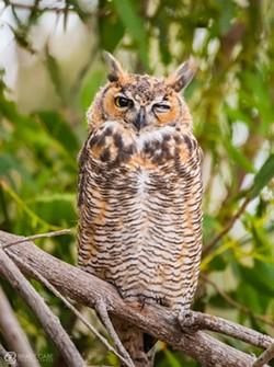 6bcb82d7_2018-01_great_horned_owl_brady_cabe.jpg