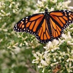 Monarch Butterfly - Uploaded by Events CCSPA