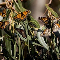 Monarch Butterflies at Los Osos - Uploaded by Events CCSPA