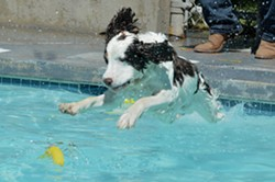 Dogs swim at Templeton Community Pool at annual Dog Splash Days event - Uploaded by Dog Splash Days VDP