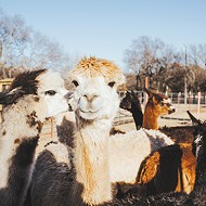 New Year's Eve: Alpaca party