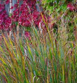 Karl Foerster feathery grass and Boston Ivy add nice fall color to one of Czismadia's Pocket Prairies. (Shannon Cornman)