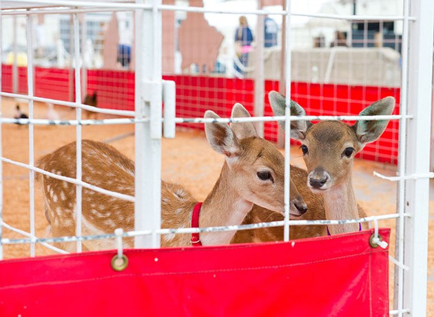 Two yearlings in the petting zoo at the fair. (Shannon Cornman)