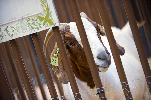 Partners in Anomal Health (OVMA) anticipate the arrival of kids (baby goats) this week at the OK State Fair. (Shannon Cornman)