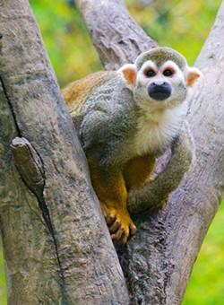 OKC-Zoo-spider-monkey-23sc.jpg