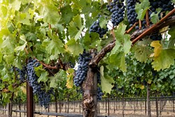 Clusters of ripe red wine grapes on the vine at harvest. Looking up at grapevines in autumn, with green, yellow leaves. Grapes hang from vines in Napa Valley California. - BIGSTOCK