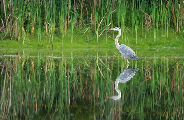 The OKC zoo and The Nature Conservancy are working together to preserve Oklahoma habitats and wildlife, including Great Blue Herons. | Photo Mike Fuhr / The Nature Conservancy / provided