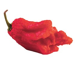 very strongly hot pepper Carolina Reaper or HP22B - BIGSTOCK
