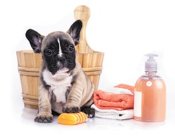 puppy bath time - French  bulldog puppy in wooden wash basin with soap suds - BIGSTOCK