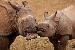 Two of the OKC Zoo's Indian rhinos.