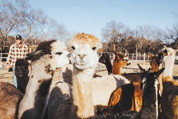 Magnolia Blossom Ranch will welcome guests for a New Year's Eve afternoon of Wine, Carrots & Alpacas. - ALEXA ACE