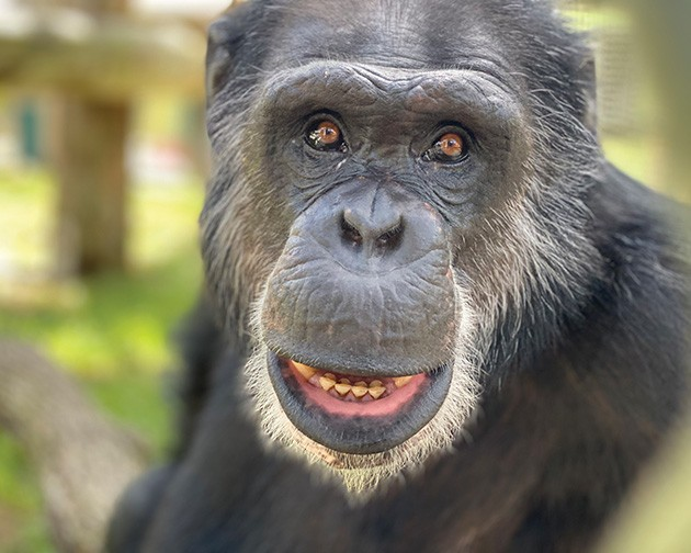 Murray now lives at Center for Great Apes with his brothers after being rescued from Arbuckle Wilderness. - CENTER FOR GREAT APES / PROVIDED