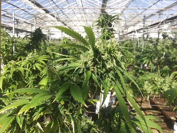 Red Dirt Sungrown is the newest crop at Guthrie Greenhouses. - MATT DINGER