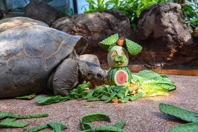Galapagos tortoise - OKLAHOMA CITY ZOO / PROVIDED