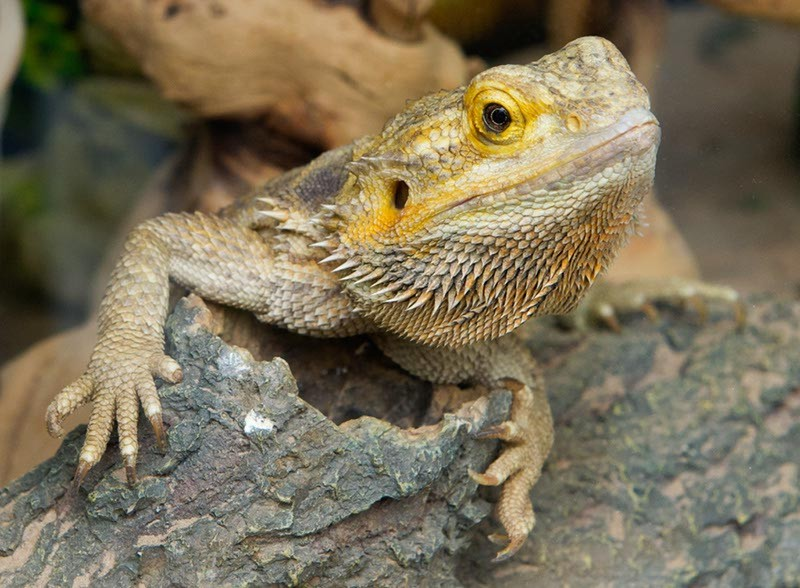 Bearded Dragon at Alligator Alley (Shannon Cornman)