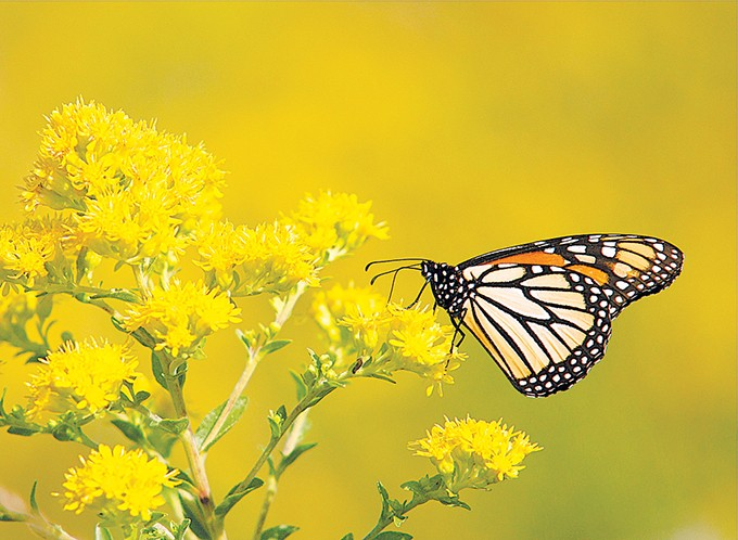 Oklahoma Monarch & Pollinator Collaborative is working to help monarch butterflies in their twice-annual migrations through Oklahoma. - MIKE FUHR / PROVIDED