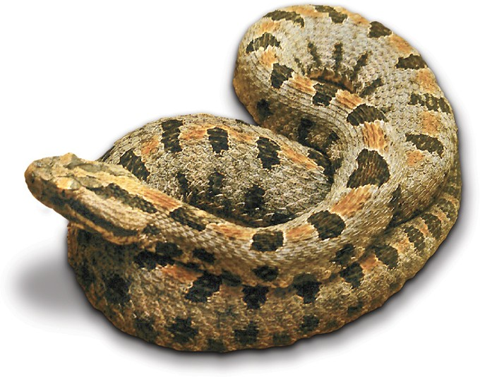 Pygmy rattlesnake - RATTLESNAKE MUSEUM / PROVIDED
