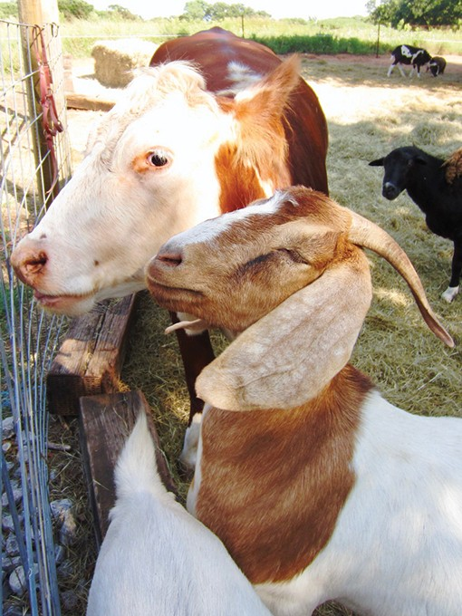 Animals who now live at Milo's Barn include llamas, pigs, goats and Milo the miniature horse. - JO LIGHT