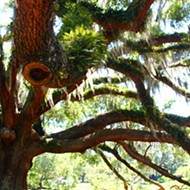 A not-too-comprehensive review of Orlando's significant trees