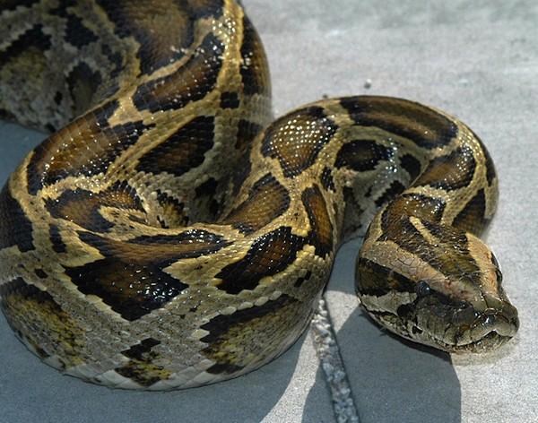 Burmese python, crestfallen he is not cruising I-Drive.