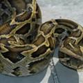 Orlando: Burmese python-free since 2009