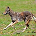 How to deal with urban coyotes