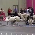 Day Two of Celebrate Dogs AKC Eukanuba championship is today