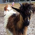 Potential lead in case of Elvis the missing goat