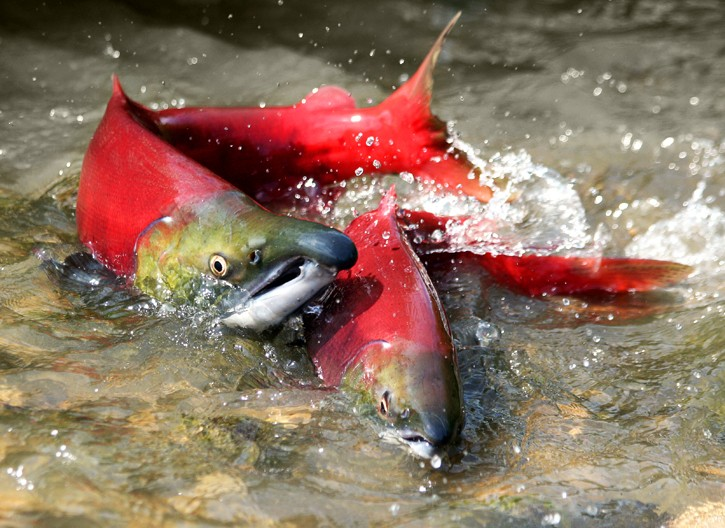 salmonjpg