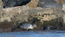Florida Fish and Wildlife Commission rescue northern Harbor Seal in South Florida