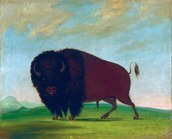 """From the exhibition """"George Catlin's American Buffalo"""""""