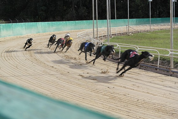 Greyhounds run the track at the Sanford Orlando Kennel Club - SANFORD ORLANDO KENNEL CLUB