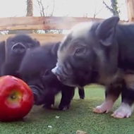 Happy Friday. Watch these adorable baby pigs eating an apple.