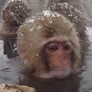 Happy Monday. Watch this video of Japanese Macaques soaking in some hot springs