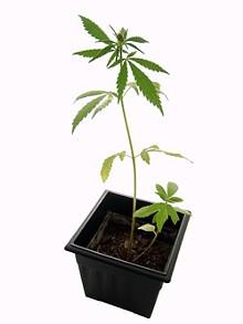 marijuana_plantjpg