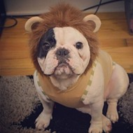 Happy Thursday. Please enjoy this video of a French bulldog dressed as a lion learning to ring a bell